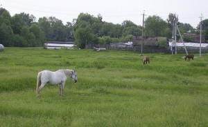 ольшанское озеро лошади